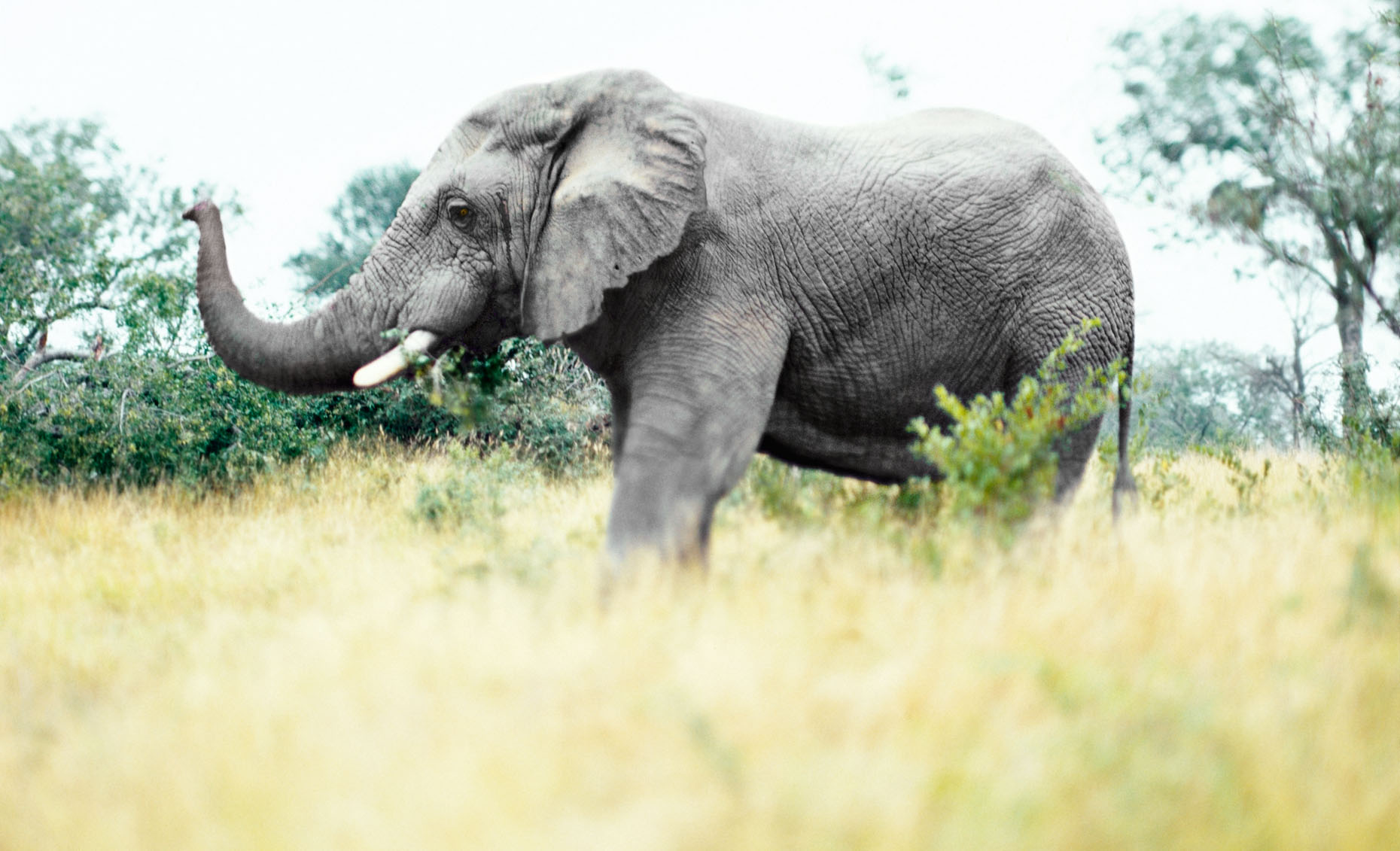 Mature elephant in Londolozi Game Reserve, South Africa